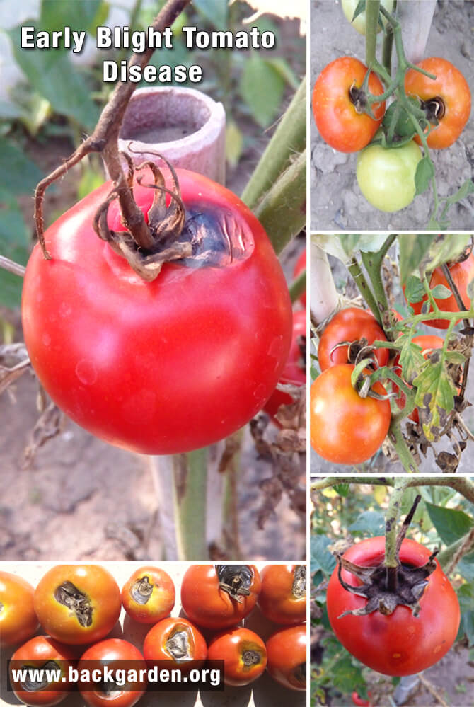 Early blight tomato fruit