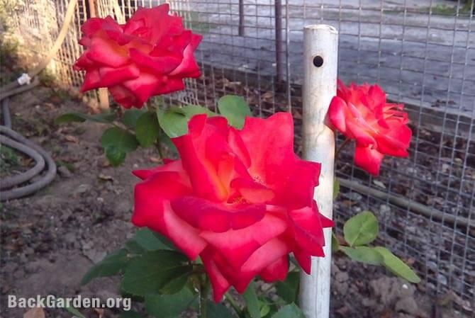 Epsom salt beautiful roses