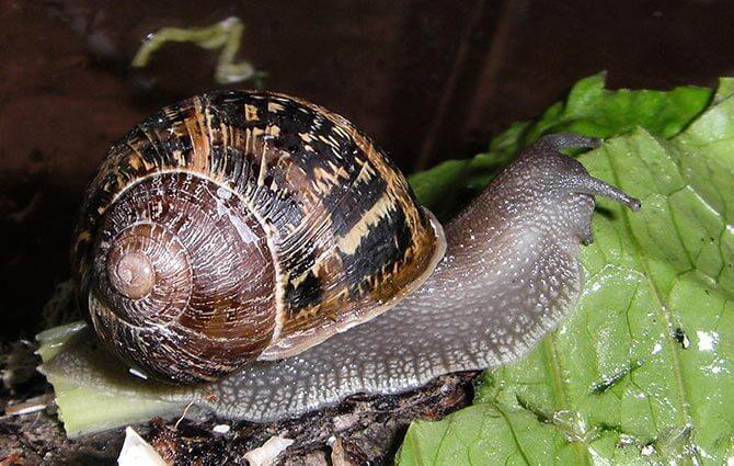 Epsom salt as an organic pesticide for snails