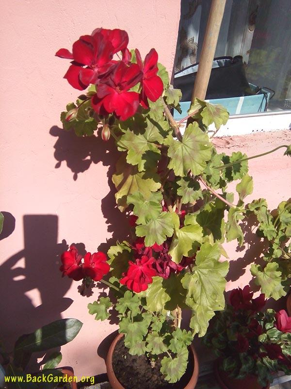 geranium pelargonium x hortorum