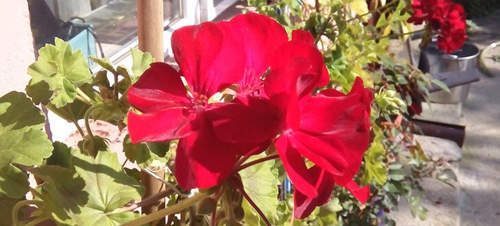 6 Tips For Growing Better Geraniums