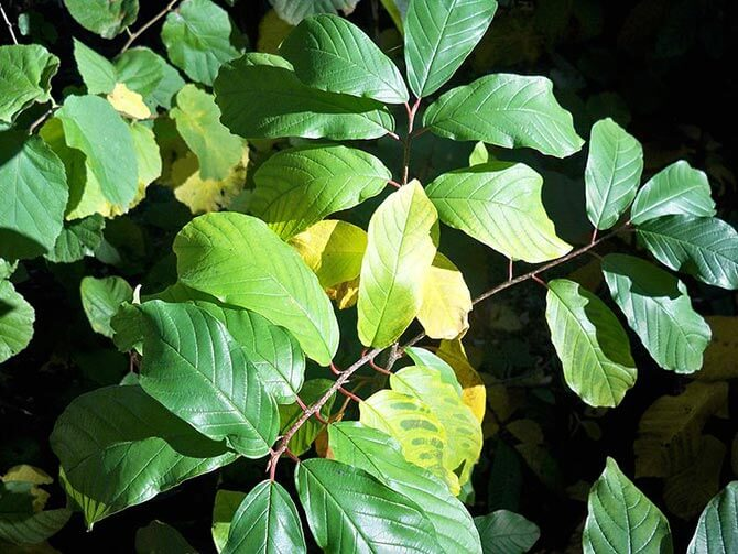 plant with magnesium deficiency