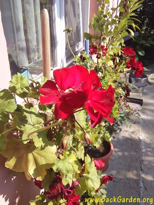Red geranium (Pelargonium x hortorum)