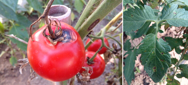 Tomato Early Blight Disease – Causes, Symptoms and Treatment