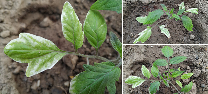 Tomato Leaves Turn White - Causes & Treatment for Sunscald