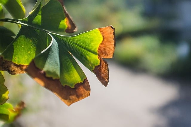 Plant Senescence