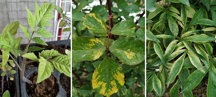 9 Causes Why Plant Leaves Turn Yellow
