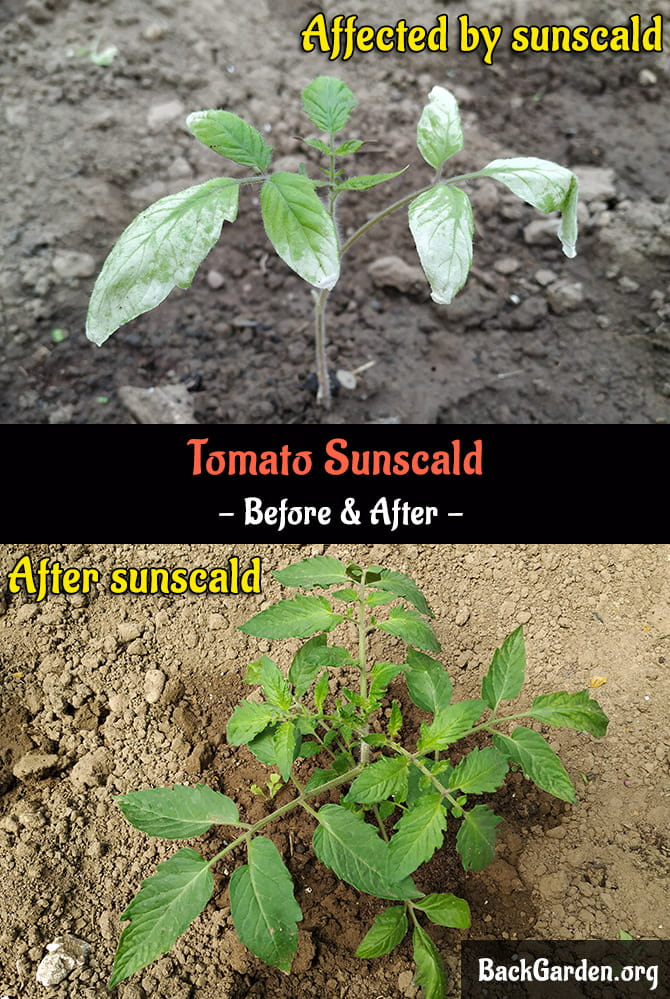 Tomato Seedlings Sunscald - Before and After