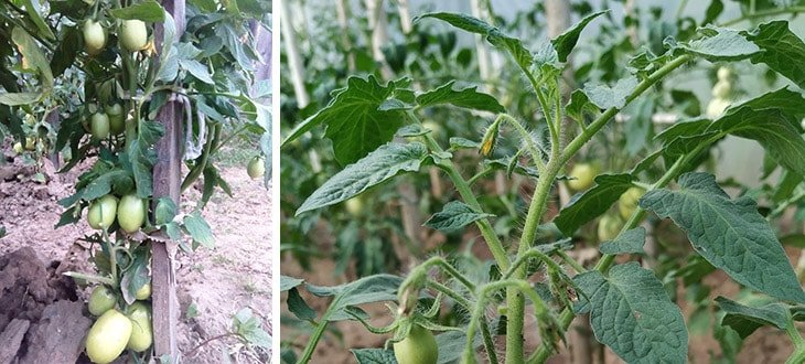 4 Causes Why Your Tomatoes Are Not Setting Fruit