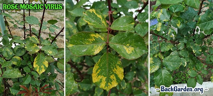 The Rose Mosaic Virus – Yellow Pattern On Roses Leaves