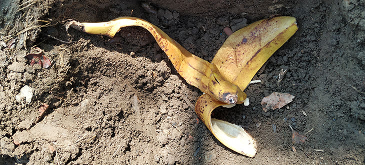 Banana peels usage in gardening