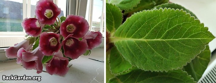 Gloxinia - Sinningia Speciosa, flowers, leaves