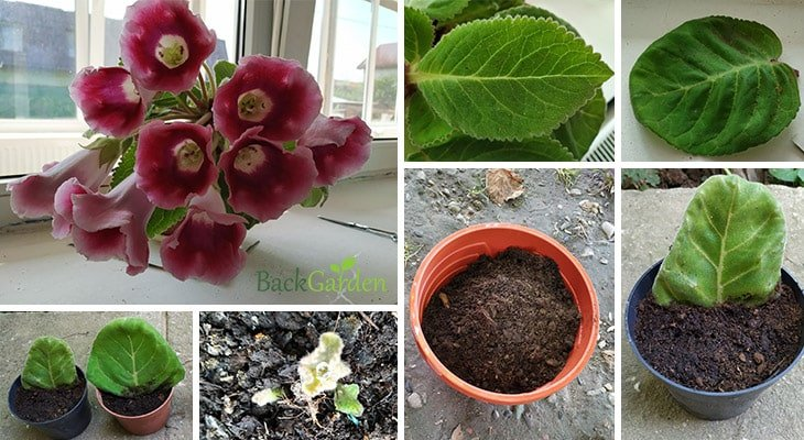 How To Grow Gloxinias (Sinningia Speciosa)