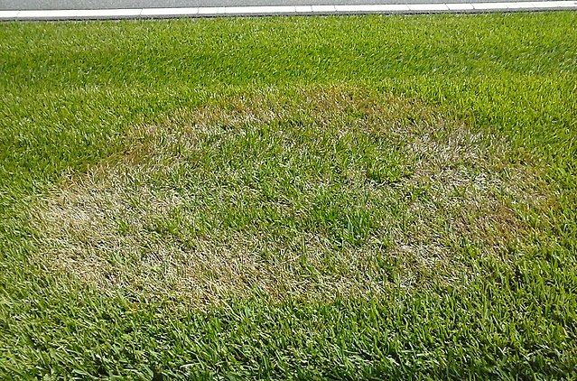 Brown spot in the turf - Lawn fungus