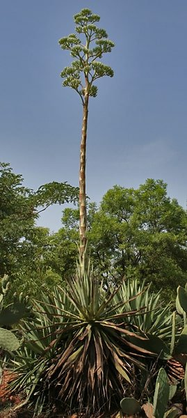 Blooming Caribbean Agave - Agave angustifolia