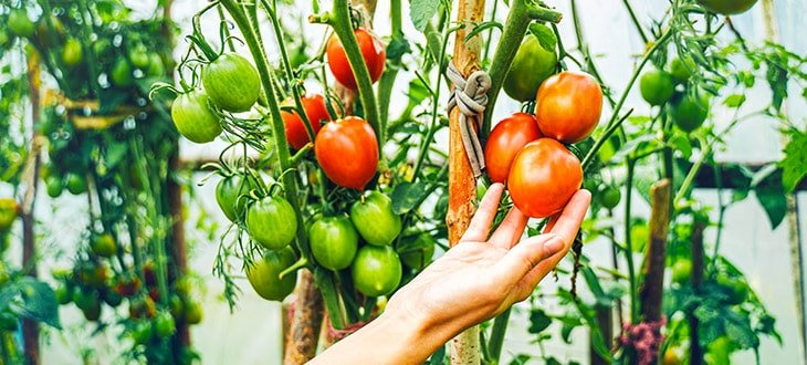 Are Tomatoes Perennials Or Annuals?