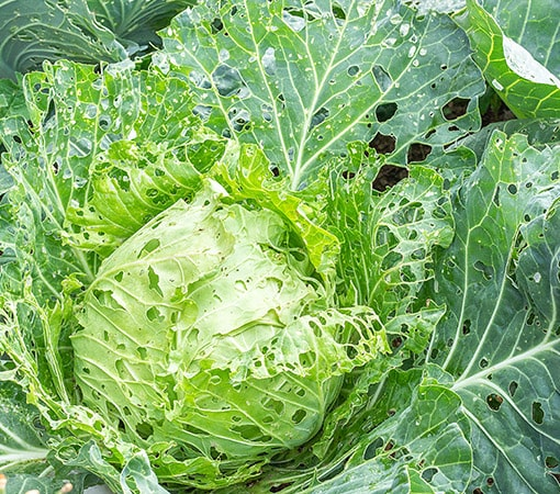 Cabbage damaged by pests