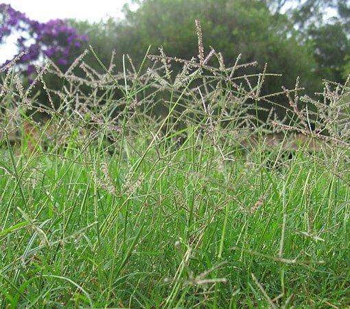 Bermuda Grass Seedheads