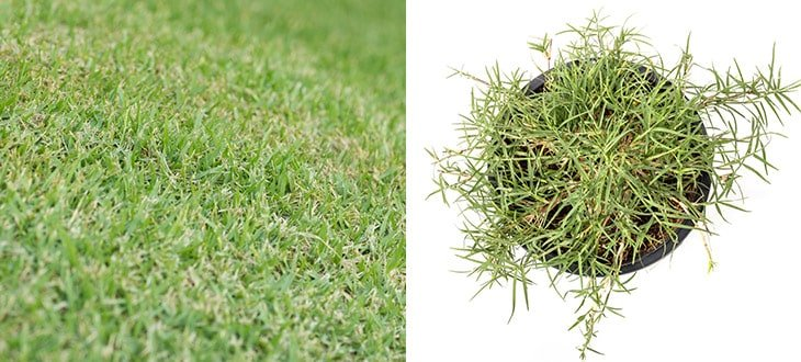 Bermuda Grass: The Vine Grass Good For Lawns But Bad For Gardens