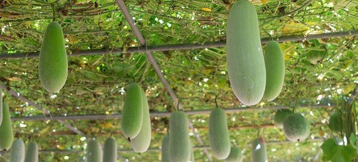 Winter Melon Growing Guide