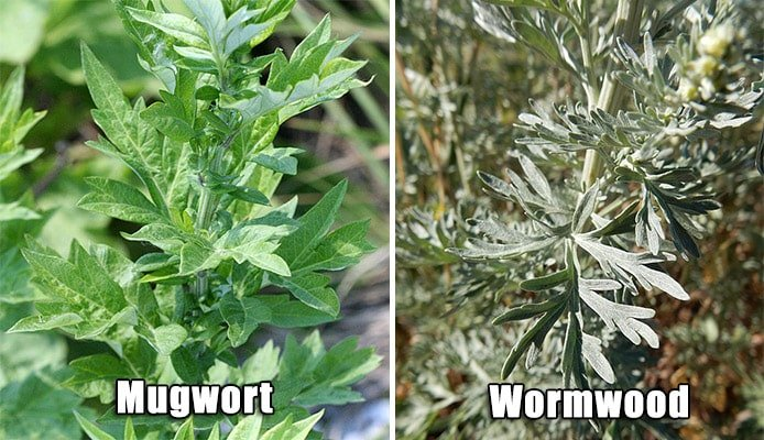 Differences between Mugwort and Wormwood
