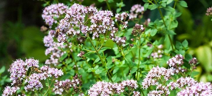 5 Uses Of Oregano Flowers