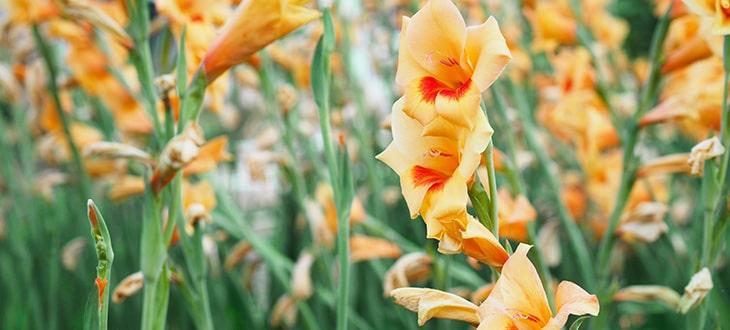 Do Gladiolus Bulbs Spread On Their Own?