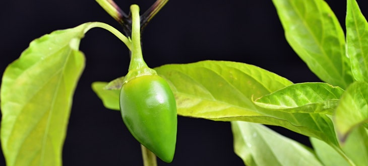 4 Causes Of Black Spots On Pepper Plants (Stem, Joints, Fruits, Leaves)