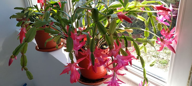 Christmas Cactus: Care, Propagation, Blooming, And More