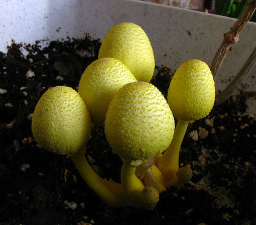Flowerpot parasol (Leucocoprinus birnbaumii)