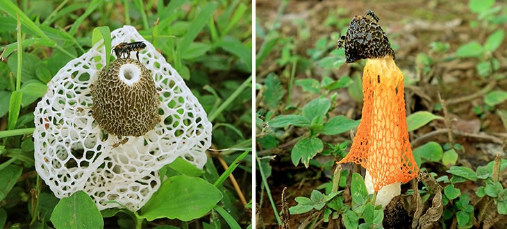 Stinkhorn Mushrooms: The Stinky Fungi That Grow In Your Garden