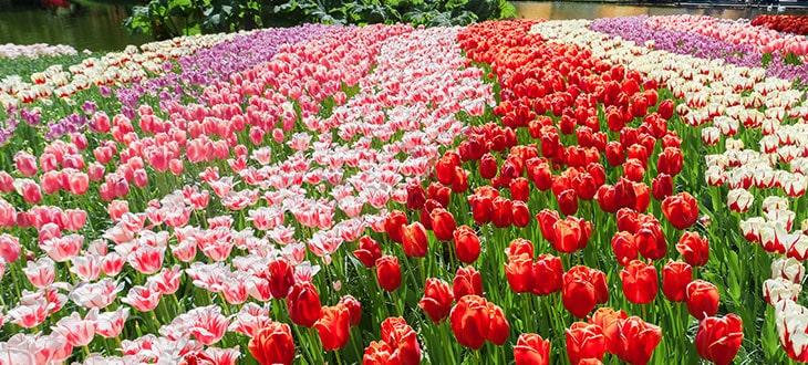 Multicolor Tulips Field