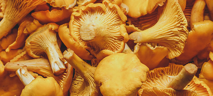 10 Species Of Yellow Mushrooms