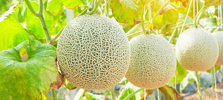Companion Plants For Cantaloupe: Best and Worst Plants to Grow Near Cantaloupe
