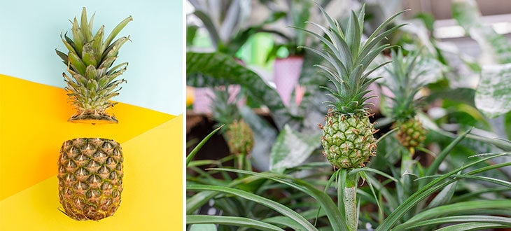 How To Grow Pineapple At Home From Tops
