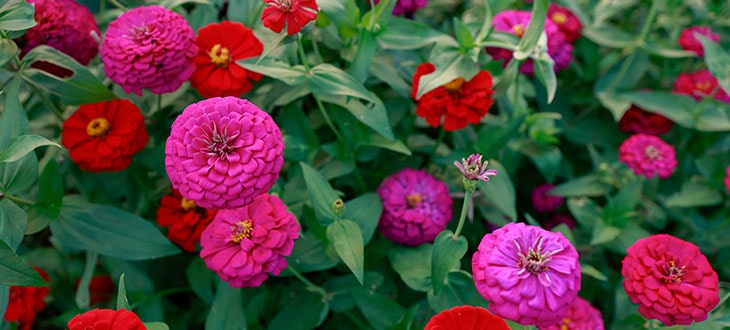 Zinnias: All You Need To Know About Zinnia Flowers